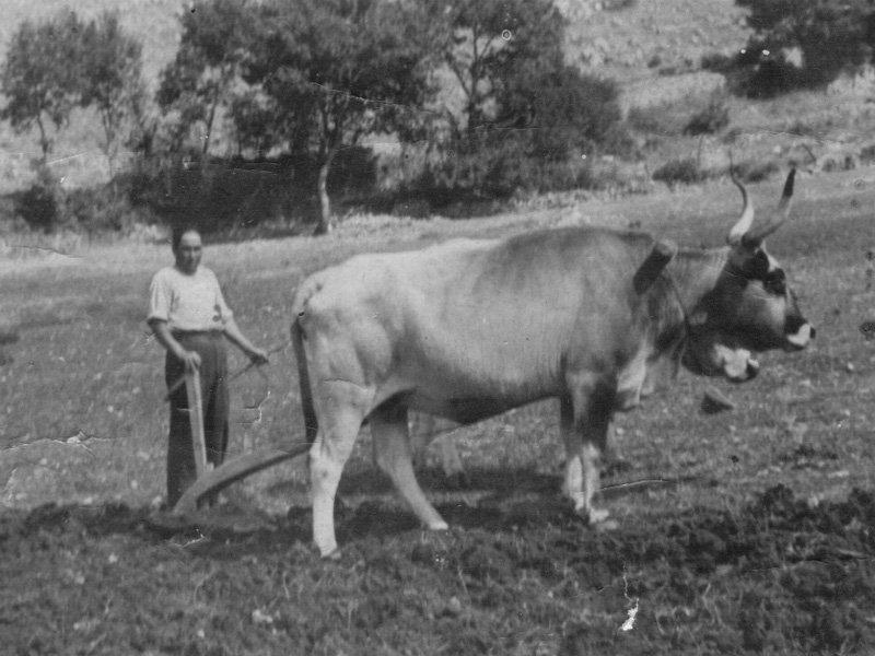 Foto_22: Museo di Riofreddo - Foto d'epoca di aratura (1939)